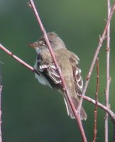 Willow Flycatcher - Empidonax traillii