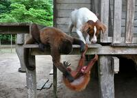 A Woolly monkey and Lassie the dog, doing something bratty to a red uakari monkey.