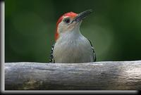 Red-bellied Woodpecker, Dobbs Ferr, NY