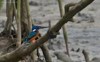 blue-eared-kingfisher