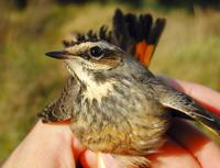 Bluethroat (Luscinia svecica), female