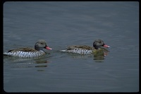: Anas capensis; Cape Teal, Cape Wigeon