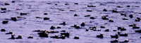 ...Dense rafts of Tufted Puffins (Fratercula cirrhata) mark the strong tidal rips that swirl around