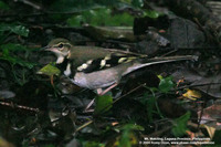 Forest Wagtail Scientific name - Dendronanthus indicus