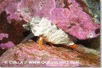 ...Image 13731, Grunt sculpin.  Grunt sculpin have evolved into its strange shape to fit within a g