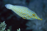 Oxymonacanthus longirostris, Harlequin filefish: aquarium