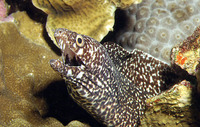 Gymnothorax moringa, Spotted moray: fisheries, aquarium