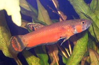 Betta macrostoma, Spotfin betta: aquarium