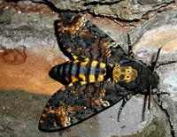 Acherontia atropos - Death's-head Hawk-moth