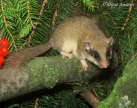 Dryomys nitedula - Forest Dormouse
