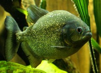 Pygocentrus nattereri - Red Bellied Piranha