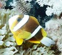 Image of: Amphiprion akindynos (barrier reef anemonefish)