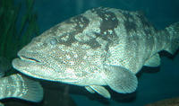 Image of: Epinephelus (groupers)