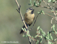 White-browed Tit - Parus superciliosus