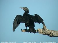 Little Black Cormorant - Phalacrocorax sulcirostris