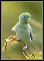Spectacled Parrotlet - Forpus conspicillatus