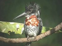 Giant Kingfisher - Megaceryle maximus