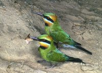Rainbow Bee-eater - Merops ornatus