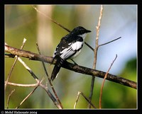 Black-browed Triller - Lalage atrovirens
