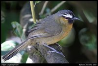 Rufous-breasted Laughingthrush - Garrulax cachinnans