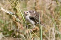 Chestnut-throated Seedeater - Sporophila telasco