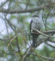 Oriental Cuckoo (Cuculus saturatus) photo