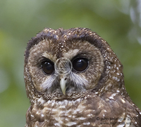 : Strix occidentalis; Northern Spotted Owl