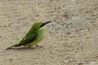 Merops orientalis  Green Bee-eater photo