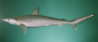 Rhizoprionodon acutus, Milk shark: fisheries, gamefish