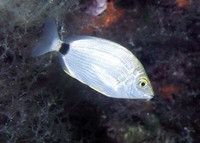 Diplodus annularis, Annular seabream: fisheries, gamefish