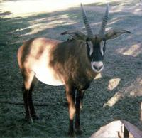 Image of: Hippotragus equinus (roan antelope)