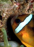 Image of: Amphiprion clarkii (black clown)