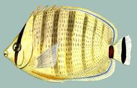 Image of: Chaetodon multicinctus (pebbled butterflyfish)