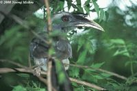 Indian Grey Hornbill - Ocyceros birostris