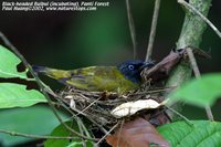 Black-headed Bulbul - Pycnonotus atriceps
