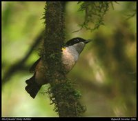 Black-headed Shrike-Babbler - Pteruthius rufiventer