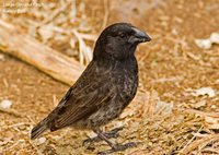 Medium Ground-Finch - Geospiza fortis