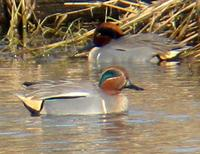 Hybrid Teal. Photo by Greg Gillson