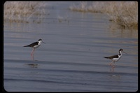 : Himantopus mexicanus; Black-necked Stilt