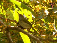 Dark-necked Tailorbird(Orthotomus atrogularis)