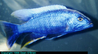Sciaenochromis ahli, Electric blue hap: fisheries, aquarium