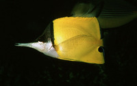 Forcipiger longirostris, Longnose butterflyfish: fisheries, aquarium