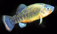 Cyprinodon fontinalis, Carbonera pupfish: aquarium