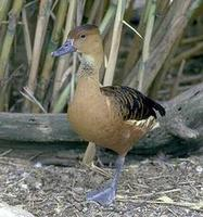 Image of: Dendrocygna bicolor (fulvous whistling-duck)