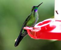 Image of: Heliodoxa jacula (green-crowned brilliant)