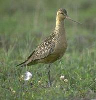 Image of: Limosa lapponica (bar-tailed godwit)
