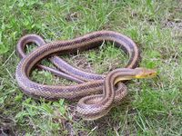 Pantherophis obsoletus - Eastern Ratsnake