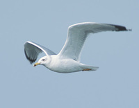 Yellow-legged Gull (Larus michahellis) photo