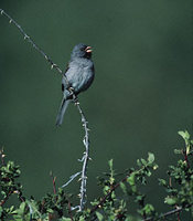 Black-chinned Sparrow (Spizella atrogularis) photo