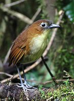 Yellow-breasted Antpitta - Grallaria flavotincta